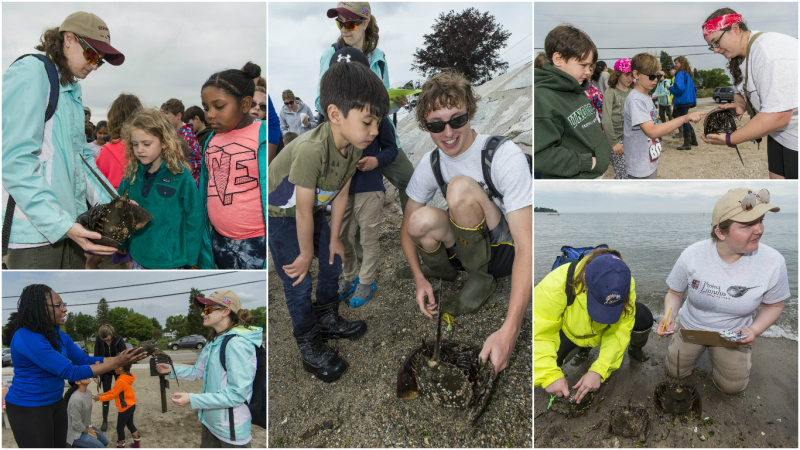 Project Limulus at Southport Beach